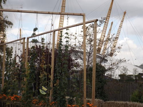 Hops growing in front of the O2.